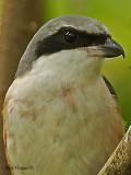 Grey-backed Shrike - portrait