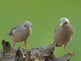 Chestnut-tailed Starling 3