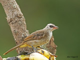 Yellow-vented Bulbul - molting