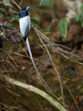 Asian Paradise Flycatcher - white morp - male - 2010