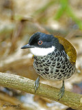 Scaly-breasted Bulbul 5