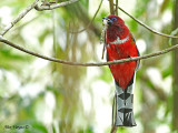 Red-headed Trogon --  Sp 282