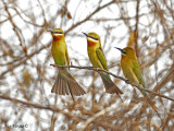 Blue-tailed Bee-eater - 2010 - 3 amigos