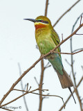 Blue-tailed Bee-eater - 2010