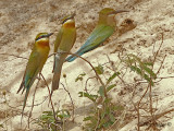 Blue-tailed Bee-eater - 2010 - 2