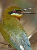 Blue-tailed Bee-eater - 2010 - portrait