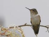 Scintillan Hummingbird - female 2010