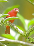Summer Tanager 2010 - 2