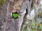 Resplendent Quetzal 2010 - male - nesting