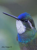 White-throated Mountain-gem 2010 - portrait