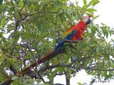 Scarlet Macaw 2010