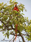Scarlet Macaw 2010 - 3