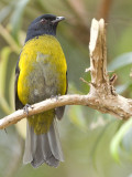 Black-and-Yellow Silky-Flycatcher 2010 - male 2