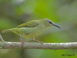Red-legged Honeycreeper 2010 - female