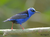 Red-legged Honeycreeper 2010 - male