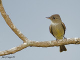 Eastern Wood-Pewee 2010