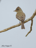 Eastern Wood-Pewee 2010 - back view
