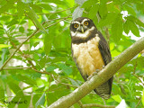 Spectacled Owl 2010