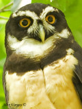 Spectacled Owl 2010 - portrait