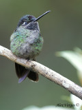 Fiery-throated Hummingbird 2010 - juvenile