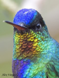 Fiery-throated Hummingbird 2010 - portrait