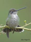 Magnificent Hummingbird 2010 - female