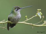 Magnificent Hummingbird 2010 - female 2
