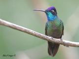 Magnificent Hummingbird 2010 - male