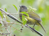 Black-and-Yellow Silky-Flycatcher 2010 - female
