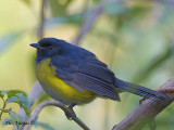 Black-and-Yellow Silky-Flycatcher 2010 - male