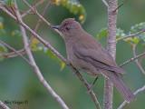 Mountain Robin 2010