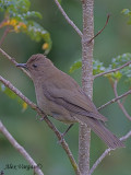 Mountain Robin 2010 - 2