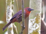 Red-throated Ant-Tanager 2010 - male
