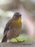 Red-throated Ant-Tanager 2010 - female