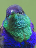 Violet-crowned Woodnymph 2010 - male - portrait