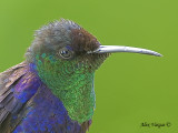 Violet-crowned Woodnymph 2010 - male - profile