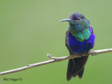 Violet-crowned Woodnymph 2010 - male