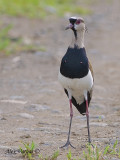 Southern Lapwing 2010 - front view