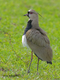 Southern Lapwing 2010 - back view