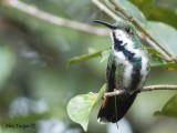 Green-breasted Mango 2010 - female 2