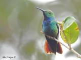 Green-breasted Mango 2010 - male