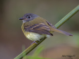 Tawny-chested Flycatcher 2010 - back view