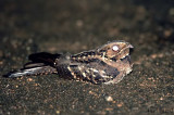 Grey Nightjar -- sp 130
