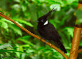 Crested Jay -- sp 116