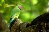 Blossom-headed Parakeet -- sp 114