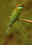 Green Bee-eater -- sp 112