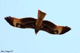 Black Kite -- 2008