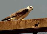 Black-shouldered Kite -- sp 135