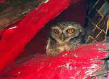 Spotted Owlet -- 2007