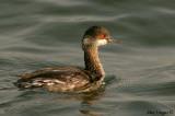 Black-necked Grebe -- sp 144